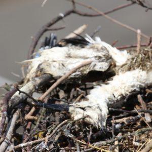 Úhyn mláďat bociana bieleho (Ciconia ciconia) na hniezde v Bušovciach. Foto: V. Kĺč