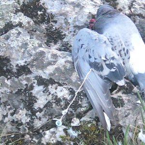 Holub, ktorému bolo podávané otrávené krmivo, aby následne slúžil ako smrtiaca nástraha pre sokola sťahovavého (Falco peregrinus). Foto: J. Matľák