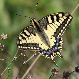 vidlochvost feniklový (Papilio machaon) foto: V. Kĺč