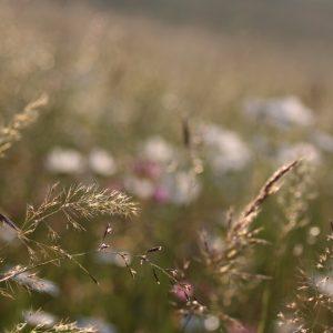 Trávy kostrava, trojštet, ovsík sú súčasťou biotopu Lk1 Nížinné a podhorské kosné lúky foto: V. Kĺč