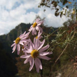 Chryzantéma pieninská (Chrysanthemum zawadskii), foto: V. Kĺč