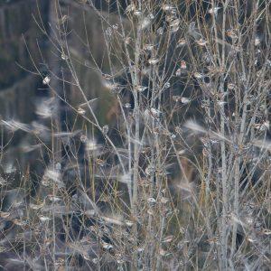 Pinky severské (Fringilla montifringilla) na nocovisku. Foto: V. Kĺč