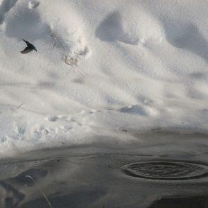 Rybárik riečny (Alcedo athis), foto: V. Kĺč.