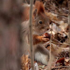 Veverica obyčajná (Sciurus vulgaris), foto: V. Kĺč