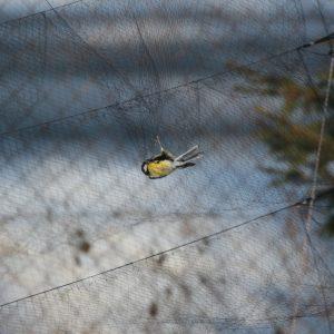 Odchyt spevavcov do špeciálnej ornitologickej, nárazovej siete. Foto: V. Kĺč.