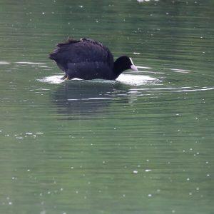 Lyska čierna. Foto: V. Kĺč