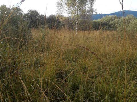 Tráva bezkolenec belasý (Molinia caerulea) na lokalite PR Šarišské Jastrabie.