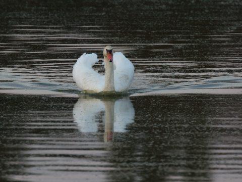 Dospelá labuť veľká (Cygnus olor). Foto: V, Kĺč