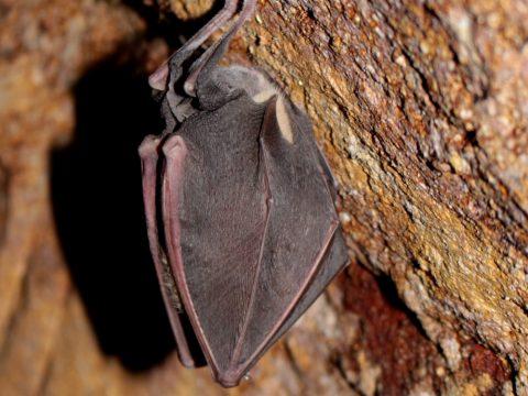 Podkovár veľký (Rhinolophus ferrumequinum), foto: V. Kĺč