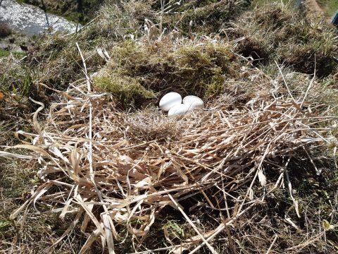 Bocianie vajíčka na novom hniezde, dúfame, že nami pripravená výstelka nezaostáva za tou pôvodnou, od majstra bociana. Foto: V. Kĺč