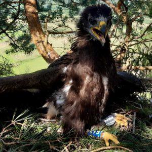 Orol krikľavý (Aquila pomarina) na hniezde v Pieninách, označený ornitologickým krúžkom. Foto V. Kĺč