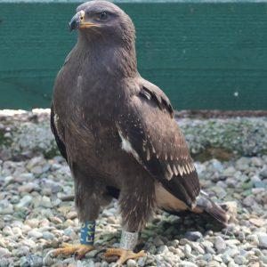 Orol krikľavý (Aquila pomarina) v rehabilitačnej stanici v Rozhanovciach, označený krúžkom. Foto V. Kĺč